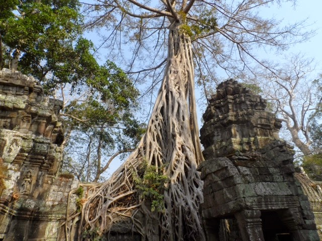 A banyan tree grows in the interior of the Ta Prohm temple. Banyan trees are considered holy in Buddhist tradition because the Buddha was born under a banyan tree. This banyan tree, along with many other trees, are believed to have caused the destruction of the temple. The tree's roots insidiously creeped into the crevices of the rock, and the temple's foundation crumbled. Photograph by senior Karina Dominguez.